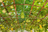 Green roof made from calabash plant — Stock Photo
