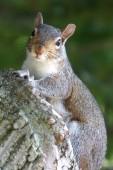 Squirrel look — Stock Photo