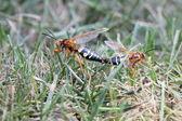 Cicada killers mating — Stock Photo