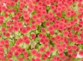 Red autumn chrysanthemums — Stock Photo