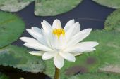 Beautiful white lotus in the pond, in sunshine — Stock Photo