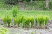 Rice plantation in thailand, preparing for farming, in thailand — Stock fotografie