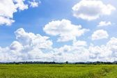 Green rice field and blue sky with clouds — Stock Photo