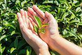 Fresh tea leaves in hands over tea bush on plantation — Stock Photo