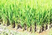 Close-up rice plants in rice field — Stock Photo