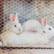 Three rabbits in cage — Stock Photo #63990505