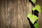 Ivy achtergrond — Stockfoto