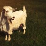 White horned goat — Stock Photo #74343475