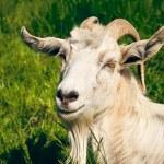 White horned goat — Stock Photo #74343491