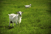 白ヤギの角 — ストック写真