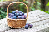 Harvesting of plums — Stock Photo