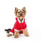 Yorkshire Terrier -  Santa Claus Dog. — Stock Photo