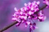 Pink blossom sukura flowers on a spring day — Stock Photo