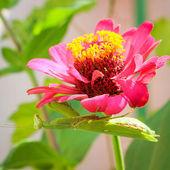 Green praying mantis on flower zinnia — Foto de Stock