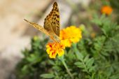 Argynnis paphia butterfly on the flower — Stock Photo