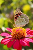 Argynnis paphia butterfly on the flower zinnia — Foto Stock