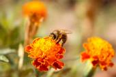 Bee sits on orange flower marigold — Stockfoto