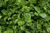 Watercress cropping — Stock Photo