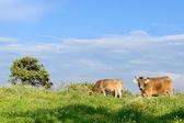 Horské krávy — Stock fotografie