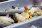 Fresh fish carp — Zdjęcie stockowe