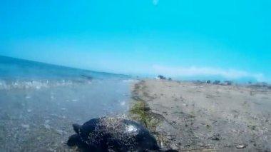 Sea turtle — Stock Video