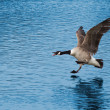 United Kingdom, Devon Goose Coming in for Landing on the Lake — Stock Photo #70059837