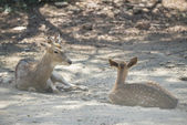 A little Chital Deer in Thailand — Stock Photo