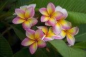 Plumeria. Beautiful pink inflorescence. — Stock Photo