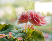 Begonia pink flowers — Stock Photo
