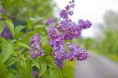Lilacs in bloom — Stock Photo