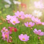 Flor hermosa cosmos — Foto de Stock