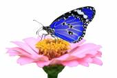 Exotic blue butterfly — Stock Photo