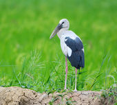 Asian openbill stock in the swamp areas — Foto Stock