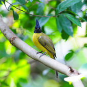 Black-crested Bulbul bird in nature catch on the branch  — Foto Stock