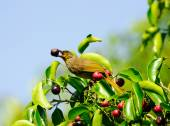 Birds on the banyan (striped throated bulbul) Thailand — Foto Stock