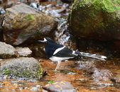 White-crowned Forktail ,nature in Thailand — Foto Stock