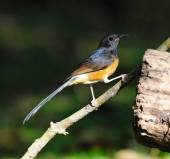White-Rumped Shama, in nature, in Thailand — Foto Stock