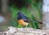 Bird White-Rumped Shama on isolated white background — Stock Photo
