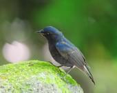 Bird White-tailed Robin in Thailand — Stock Photo