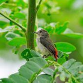 The Scarlet-backed Flowerpecker (Dicaeum cruentatum) she sits on — Stock Photo
