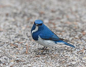 Beautiful Blue Bird, Ultramarine Flycatcher, perchingon the grou — Stock Photo