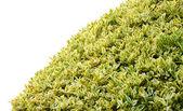 Weiße Blumen und grüne Büsche — Stockfoto