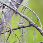 Forest birds (Golden-bellied Gerygone) in thailand — Stock Photo