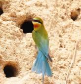 Bee eater Bird, nature in Thailand — Stock Photo