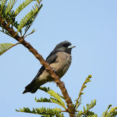 Bird (Ashy Woodswallow) in nature, in Thailand — Stock Photo