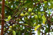 Fresh Garcinia sour flavor lots of vitamin C the tropical Thai — Stock Photo