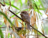 Colorful Frogmouth bird, Gould's Frogmouth standing on a branch, — Stock Photo
