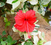 Blossoming red flower of treelike Hibiscus with two petals on pe — Stock Photo