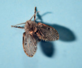 Moth fly or drain fly (Clogmia albipunctata  Diptera, F: Psy — Stock Photo