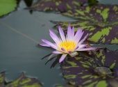 Beautiful water lilly — Stock Photo
